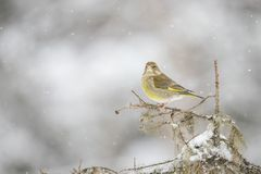 Green Finch, Chloris chloris. Chloris Chloris, the Green Finch. A common songbird royalty free stock photography