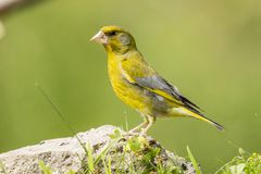Green Finch, Chloris chloris. Chloris Chloris, the Green Finch. A common songbird stock image