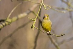 Green Finch, Chloris chloris. Chloris Chloris, the Green Finch. A common songbird royalty free stock images