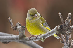 Green finch on a dead tree Royalty Free Stock Image