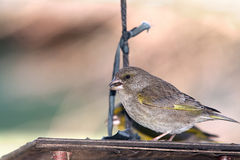 Green finch on feeder Royalty Free Stock Photography