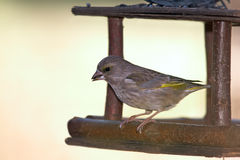 Green-finch in feeder Stock Photo