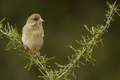 Green Finch. The Green Finch is a fringillidae, he is on the branch watching around Stock Photography