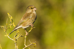 Green-Finch Royalty Free Stock Photo