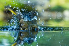 Green finch having bath in forest pond with clear bokeh background and saturated colors, Germany, bird in water,mirror reflection. Wildlife scene,Europe,bird stock images