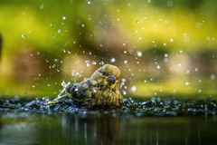 Green finch having bath in forest pond with clear bokeh background and saturated colors, Germany, bird in water,mirror reflection. Wildlife scene,Europe,bird royalty free stock photos