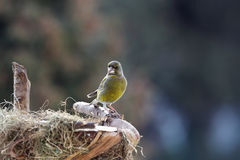 Green-finch male near nestle Royalty Free Stock Photo