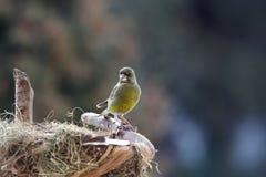 Green-finch male near nestle. Green-finch male sitting near nestle Royalty Free Stock Photo
