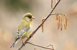Green finch Royalty Free Stock Image