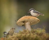 Green finch, nuthatch, great tit standing with mushrooms Royalty Free Stock Image
