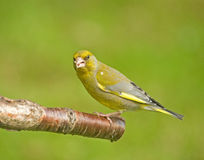 Green Finch on a perch. Stock Photography