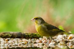 Green finch sitting on lichen shore of pond water in forest with bokeh background and saturated colors, Hungary, songbird in natur. E forest lake habitat, cute royalty free stock photo