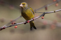 Green-finch on spring branch Royalty Free Stock Photo