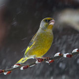 Green finch in snowfall Royalty Free Stock Photo