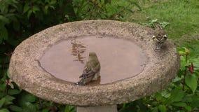 Green finch splashing in a bird bath. stock video
