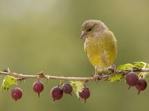 Green finch standing on a Gooseberry branch. Green finch is standing on a Gooseberry branch Stock Image