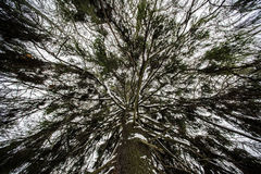Green fir from the bottom up Royalty Free Stock Images