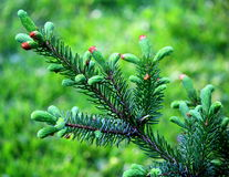 A green fir branch Stock Image