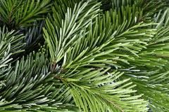 Green fir branch Stock Photo