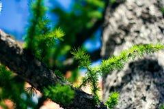 Green fir branch close-up shot stock photo