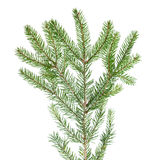 Green fir branch for decoration Stock Photo