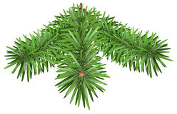 Green Fir branch. Pine branches  on white background. Illustration in vector format Royalty Free Stock Photo