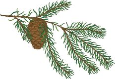 Green Fir Branch With Pine Cone. Isolated on a White Royalty Free Stock Photography