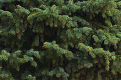 Green fir branches, background Royalty Free Stock Image