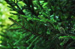 Green fir branches. Closeup of green fir branches in forest Royalty Free Stock Photography
