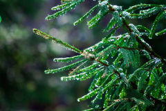 Green fir branches in drops of rain Stock Image