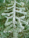 Green fir branches. In the garden after frost Royalty Free Stock Images