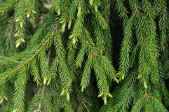 Green fir branches with new sprouts Royalty Free Stock Photo