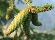 Green Fir Cone Stock Photo