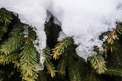Green fir cones and needles under the snow. Royalty Free Stock Images