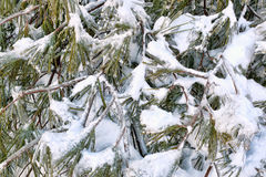 Green fir covered with snow and ice Stock Photography