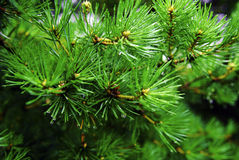 Green fir with drops Stock Image