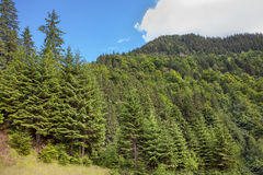 Green fir forest Stock Photography