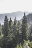 Green fir forest Royalty Free Stock Photo