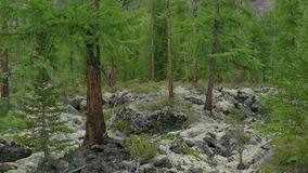 Green fir forest on moss and rocks Pine Trees , untouched spruce, growing in mountains. Wild nature of Siberia, summer. Landscape stock video