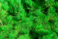 Green fir-needle Royalty Free Stock Photos