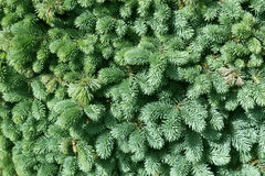Green fir-needle nature background, spruce Royalty Free Stock Photo