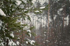 Green fir strewn with thick snow Royalty Free Stock Images