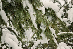 Green fir strewn with thick snow Royalty Free Stock Photography