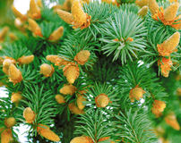 Green fir-tree Royalty Free Stock Images