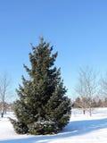 Green fir tree Stock Photography