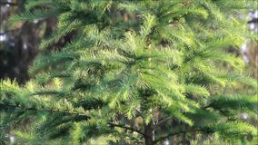 Green fir tree blowing in the wind stock video