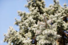 Green fir tree and blue sky. On background royalty free stock photo