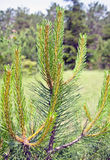 Green fir tree branch Royalty Free Stock Image