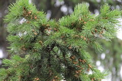 Green fir tree branch with cones Stock Image