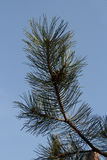 Green fir tree branch with long needles. On blue sky background Royalty Free Stock Image